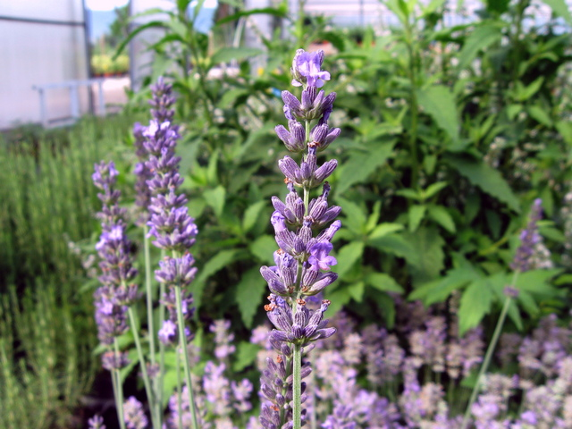 Lavandula angustifolia 'Impress Purple'